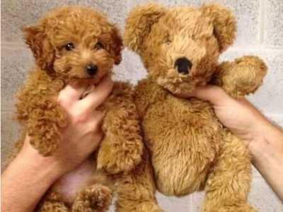 泰迪美容和剃毛 泰迪犬剃毛的三大错误观点