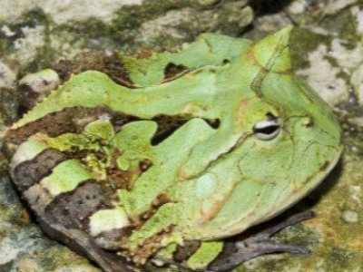 最凶的青蛙 地球上最凶残的青蛙