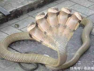 传说中的蛇 印度传说中的五头蛇