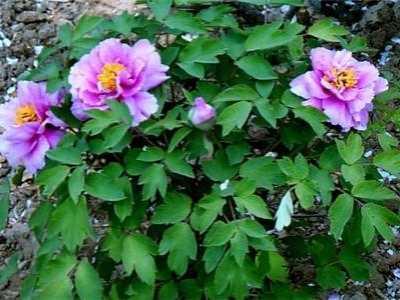 牡丹可以长成树 牡丹花能在家里养吗