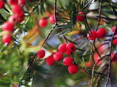 红豆杉适合在室内养吗 家里养红豆杉风水好吗
