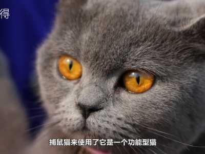 英国短腿猫 什么是英短猫