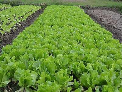 吃不完的生菜怎样种植 生菜怎么种植