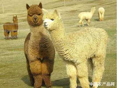 中华羊驼网 中国可以养殖羊驼吗