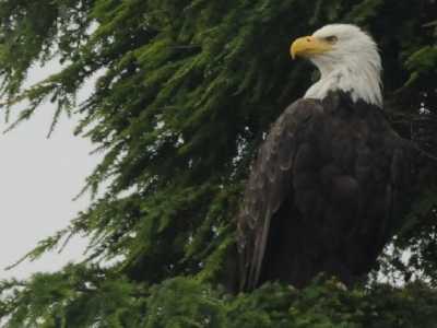 白头鹰为什么代表美国 美国的象征白头鹰