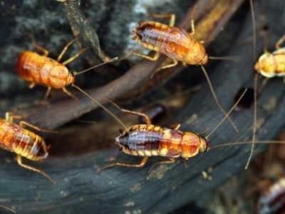 美容沙龙希是什么 世界上最恶心的美容方法是韩国蟑螂戴口罩