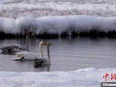 相映成趣打一生肖 新疆巴音布鲁克草原天鹅与白雪相映成趣