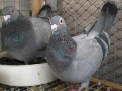 信鸽子养殖最忌讳什么 信鸽怎么养能招来鸽子