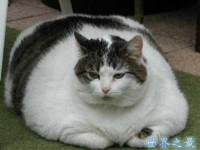 吉尼斯最重的猫 世界上最胖最重的猫
