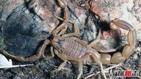 巴勒斯坦毒蝎蜇一下瞬间毙命 世界十大毒蝎子