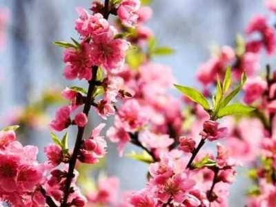 仙湖植物园桃花园 深圳最佳观赏桃花的5个地方