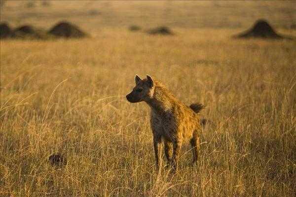 斑鬣狗公母都有丁丁怎么分辨公母 母系氏族的动物