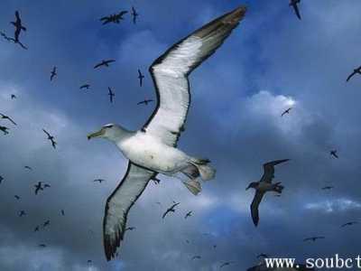 漂泊信天翁寿命最长可达60年 寿命最长的鸟是什么鸟