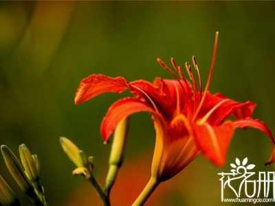 象征着热情似火的红百合 智利国徽太平