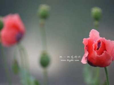 罂粟花的英文介绍 罂粟花的花语